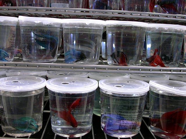 Betta fish tanks at petco check out this guy i saw at for Fish at petco
