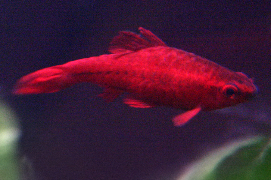 for Cherry barb fish